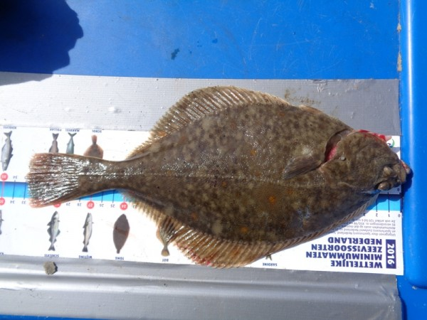 Huib, kantvissen Oosterschelde