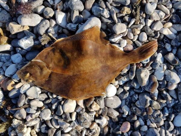 Kantvissen aan Gjerrild Klint, aas en kunstaas