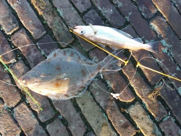 Veel vis, aan Vlaardingen havenhoofd