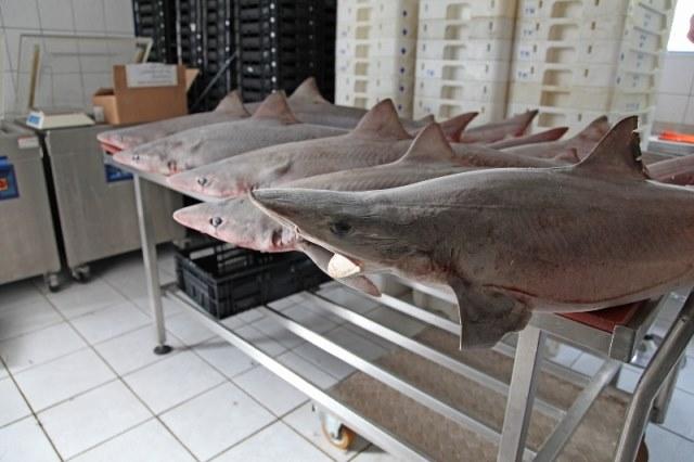 Ruwe haai, de toekomst?